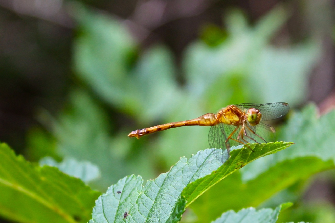 Dragonfly, Courtesy of P. Zaks